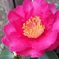 小振りな山茶花の花♪