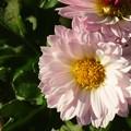 ピンクの小菊♪