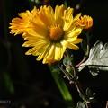 午後の小菊♪