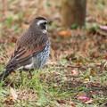 Photos: 野鳥 ツグミ♪