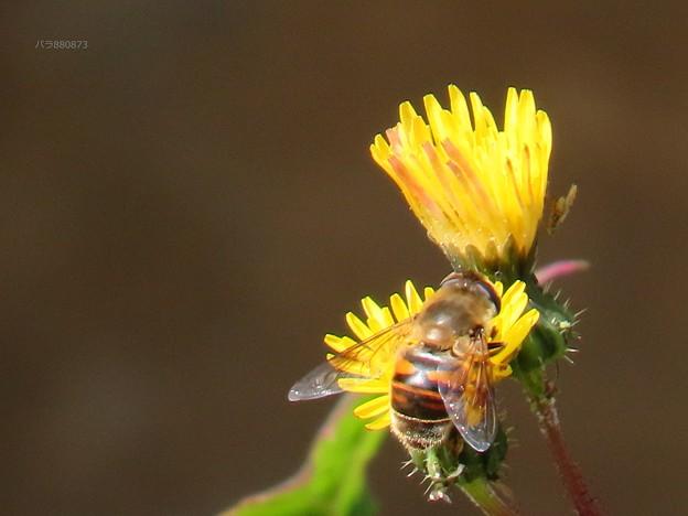 Photos: ハナアブとキク科の花♪