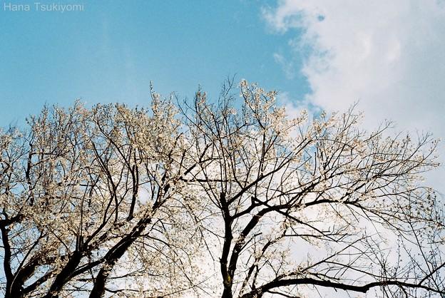 Photos: 主なき桜