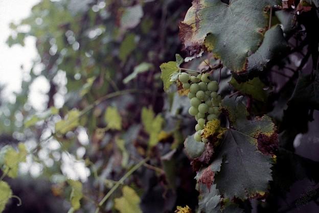 窓からのブドウ