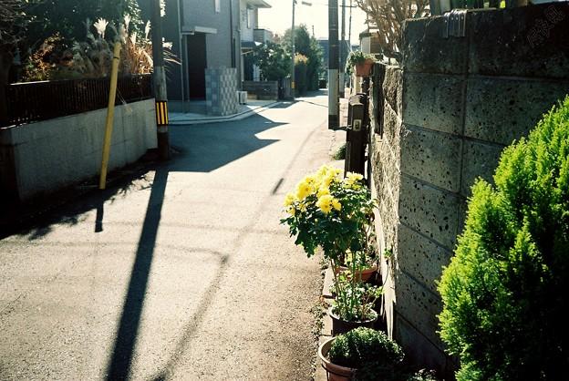 散歩~菊~