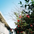 Photos: 散歩~山茶花~