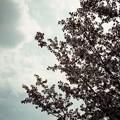 Photos: 花散る