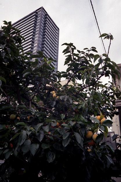 Photos: 柿とビル