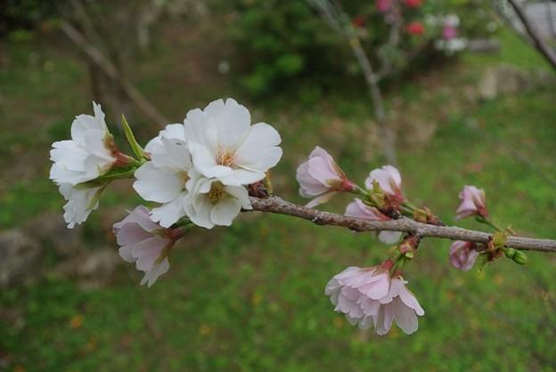 幻の桜・クメノサクラ満開