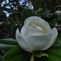タイザンボクの咲き始め
