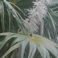 とあるヤシ科植物の花穂がすごいことに