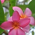 ピンクの花びらのプルメリア