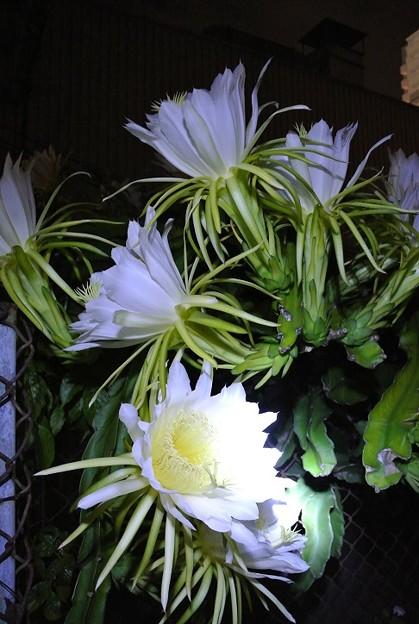日曜日の夜中は、ドラゴンフルーツの花の開花祭り
