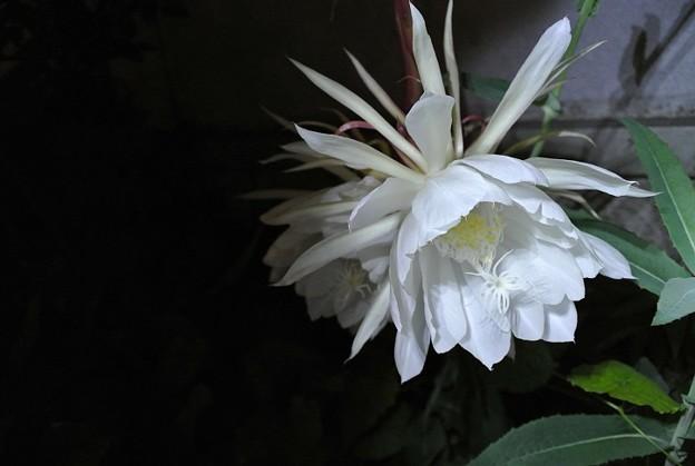 水曜日の夜中は月下美人の開花