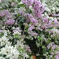 ピンクと白のブーゲンビリアの寄せ植え