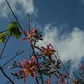 Photos: トックリキワタの花も咲く