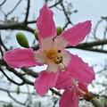 Photos: トックリキワタの花