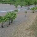 ちょぼちょぼのマングローブ林