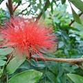 オオベニゴウカンの花