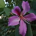 オオバナソシンカの花