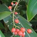 月桃の実も完熟