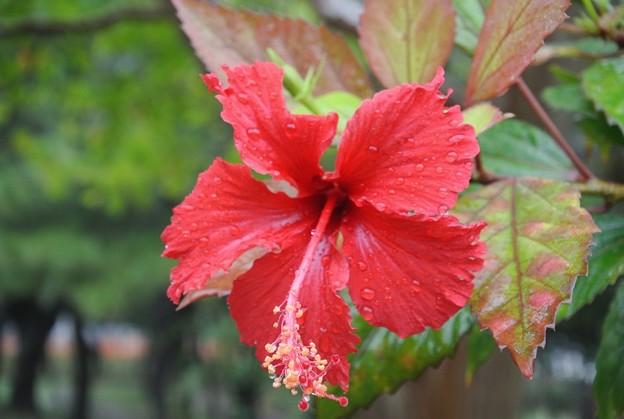 アカバナ―も雨の中