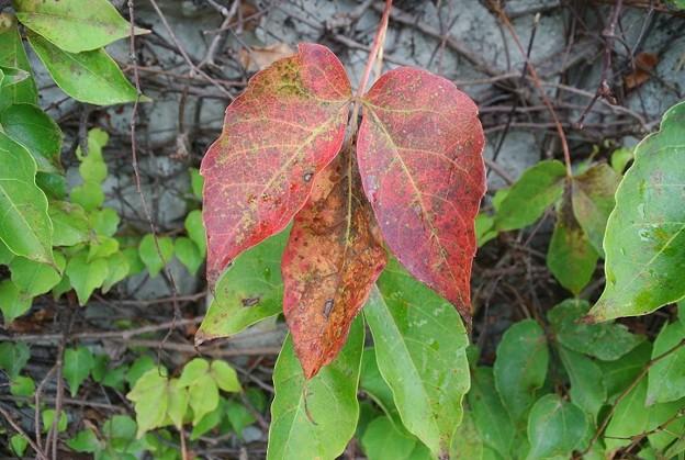 やっと色づき始めたツタの葉っぱ