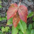 Photos: やっと色づき始めたツタの葉っぱ