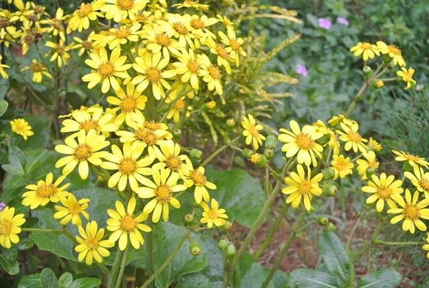 ツワブキの花が真っ盛り