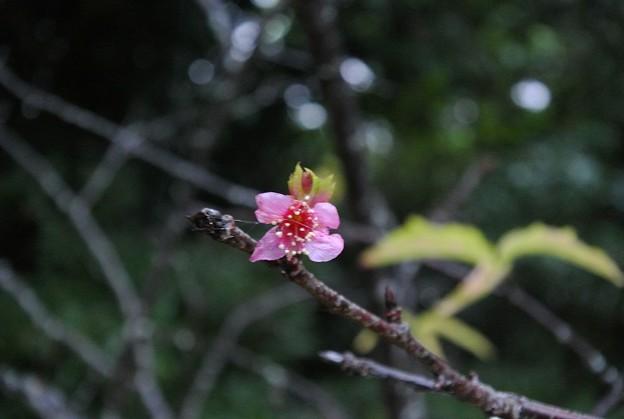 カンヒザクラの早咲き