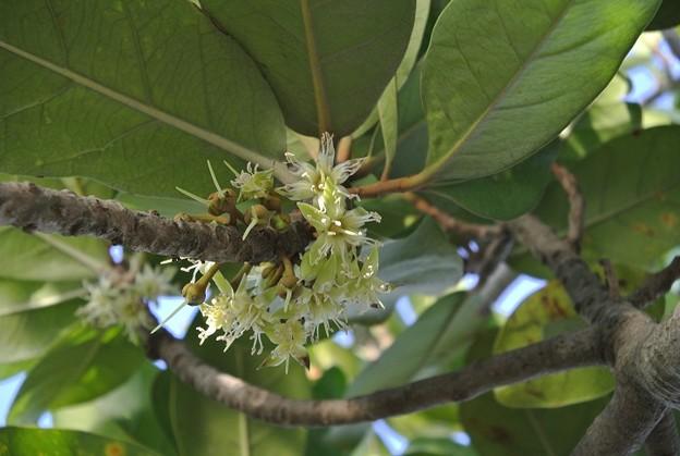 アカテツの地味な花
