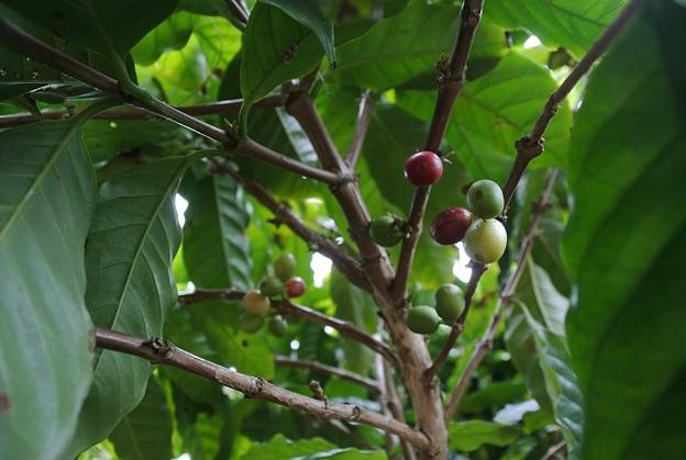 アラビカ種のコーヒーの実の熟れ始め