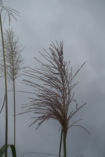 サトウキビの穂