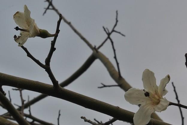 もう2輪しか残っていない白花種のトックリキワタの花