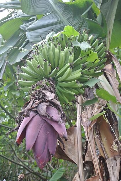厳冬でも実るバナナの実
