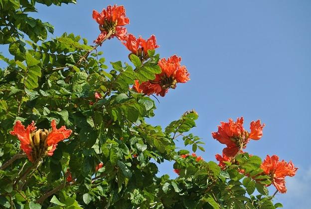 カエンボク(火炎木)のビビッドオレンジの花