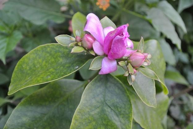 大葉麒麟の花の咲きかけ