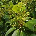 Photos: タブノキの花の咲き始め
