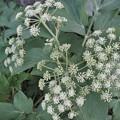 Photos: 長命草ことボタンボウフウの花