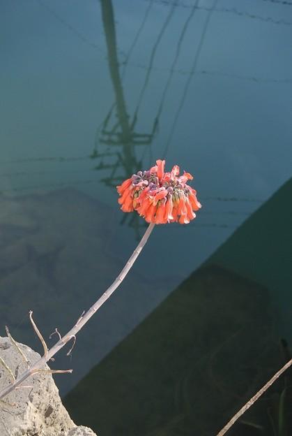 待ち遠しかったキンチョウ(錦蝶)の花