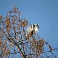 写真: メタセコイアの枝にとまったアオサギー1