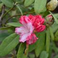 写真: 石楠花が咲き出した
