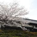 写真: 門と桜