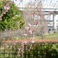 写真: 咲き出した八重紅枝垂れ
