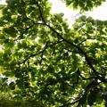 Photos: ハクモクレンの木立
