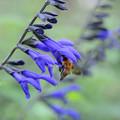 Photos: メド―セージとハチ