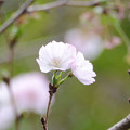 十月桜2.