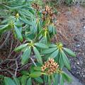 Photos: 石楠花の花柄