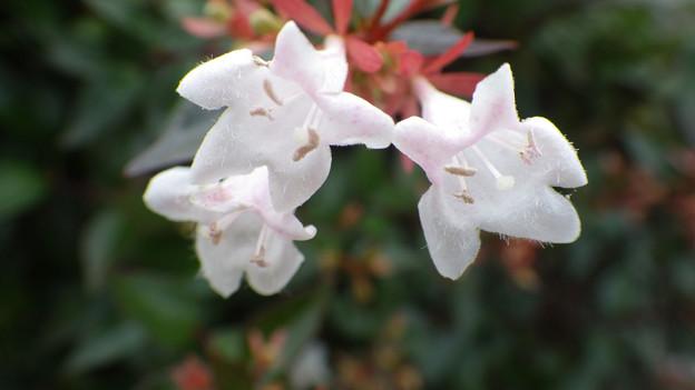 ハナツクバネウツギ(花衝羽根空木)スイカズラ科
