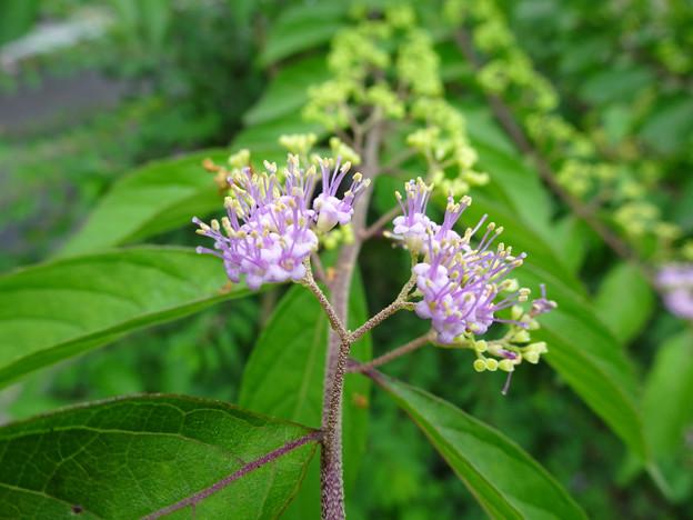 Photos: コムラサキの花
