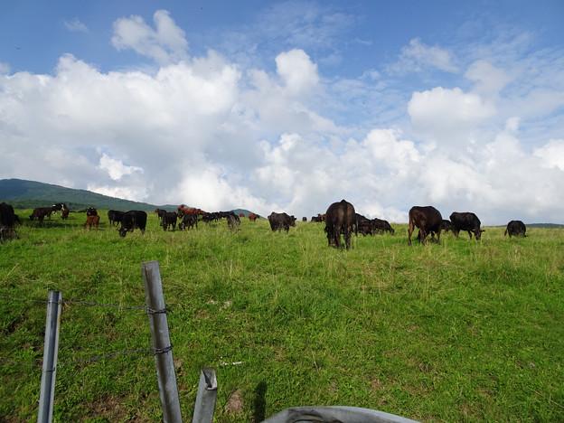 夏空と放牧牛